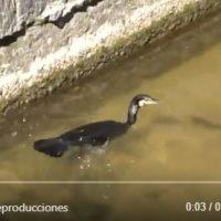 Avistan un cormorán pescando en el río Manzanares