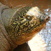 Muere la última hembra de tortuga del Yangtsé