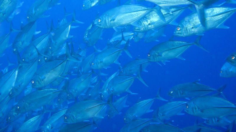 Atún rojo, el bólido de los mares