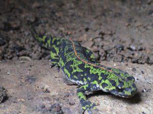 anfibios, cambio climático, fauna
