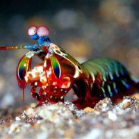 La gamba mantis <br> inspira el diseño <br> del escudo perfecto
