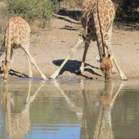 Namibia subastará 1.000 animales salvajes por la sequía