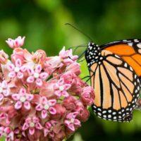 Las mariposas monarca se refugian en la ciudad