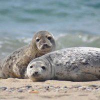 Descubren cómo las focas pueden bucear durante largos periodos