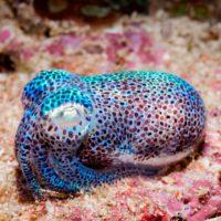 Los calamares se adaptan mejor de lo esperado a los mares plagados de CO2