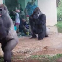 """La reacción """"humana"""" de unos gorilas"""