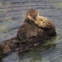 Las nutrias marinas, en peligro por su reducida diversidad genética