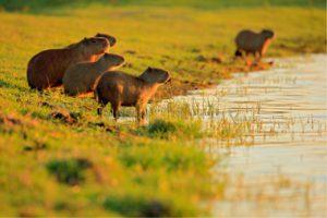 capibara, agua, roedor, fauna