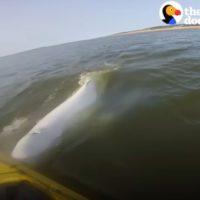 Las ballenas beluga responden al canto humano