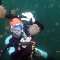 Nadando entre millones de medusas inofensivas