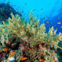 Algunos tipos de corales prefieren comer plástico
