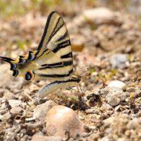 La mariposa podalirio española es una especie distinta a la europea