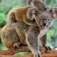 Los koalas necesitan más agua para sobrevivir al cambio climático
