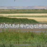 Las aves regresan a las lagunas recuperadas de Tierra de Campos