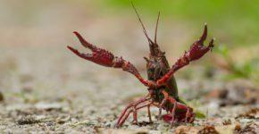 cangrejo americano