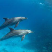 Los delfines controlan su corazón para sumergirse durante más tiempo