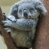 Ponen bebederos a los koalas de Australia para que resistan la sequía