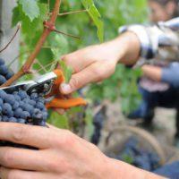La viticultura mediterránea, en peligro por el cambio climático