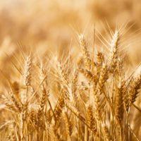 La sequía agronómica tiene en jaque al cultivo del cereal y la ganadería