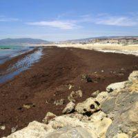 El alga que asfixia el Estrecho, por fin en el catálogo de invasoras
