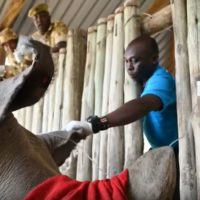 Extraen óvulos de rinoceronte blanco para salvar especie