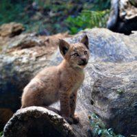 Primer lince boreal en los Pirineos en 100 años