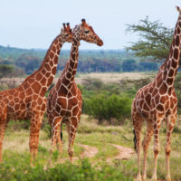 CITES prohíbe el comercio internacional de jirafas y protege a los buitres africanos
