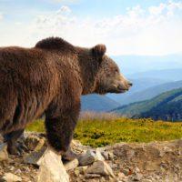 El oso pardo reconquista la Cordillera Cantábrica y alcanza los 350 ejemplares