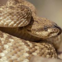 Las serpientes cascabel, más peligrosas por el cambio climático