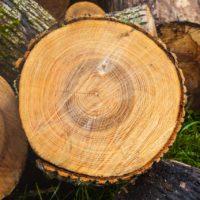 Los anillos de los árboles pueden predecir futuras zonas de sequías