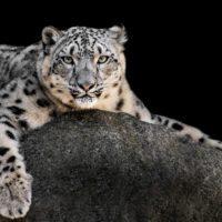 Inteligencia artificial para salvar al leopardo de las nieves