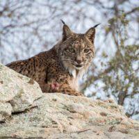 'Territorio Lince': el 'Gran Hermano' de los animales