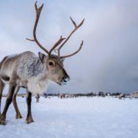 Encuentran 200 renos muertos por inanición en las islas Svalbard