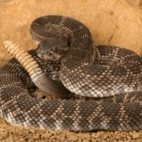 Las serpientes de cascabel, más peligrosas por el cambio climático
