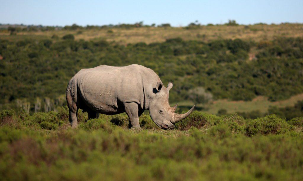 Ejemplar de rinoceronte blanco