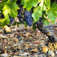 Las uvas de Borgoña confirman el calentamiento global