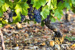 uvas, borgoña, estudio, clima