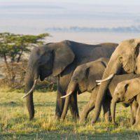 CITES aumenta la protección de jirafas, elefantes y 18 especies de tiburones y rayas