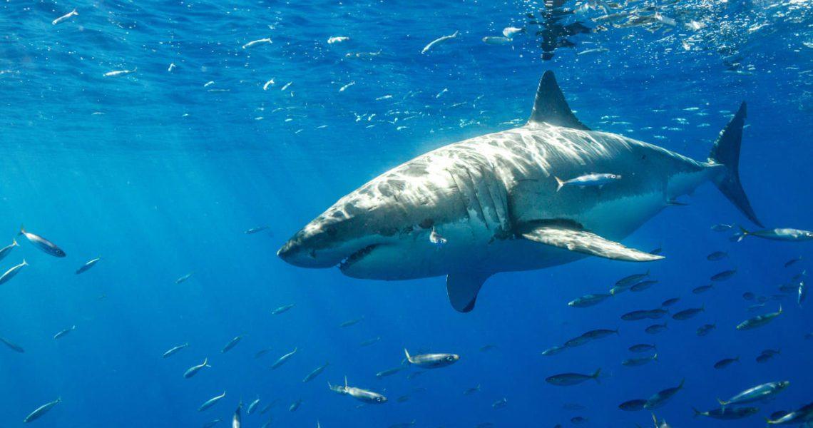 Los mapas mentales de los tiburones