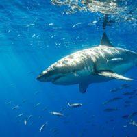 Tiburones más pequeños y menos abundantes por la actividad humana