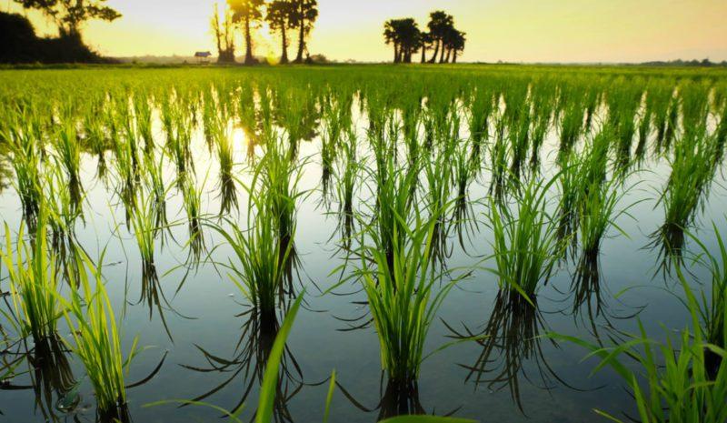 Un arroz preparado para poder sobrevivir al cambio climático