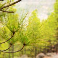 Pino canario, el árbol que rebrota tras el fuego