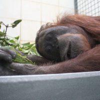 """Denuncia desde Borneo: """"Arde la selva de los orangutanes y con ella arde el clima mundial"""""""