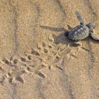 Comienzan a eclosionar en España los huevos de las tortugas bobas