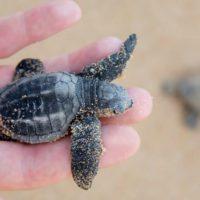 ¿Qué futuro le espera a las primeras tortugas nacidas en Baleares?