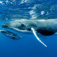 Las ballenas jorobadas se recuperan del borde de la extinción