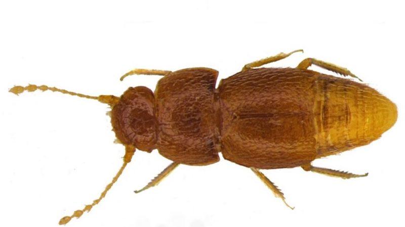 El escarabajo en honor a Greta Thurnberg
