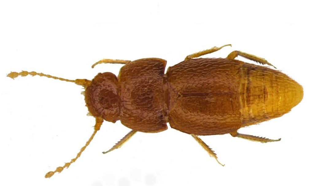 Escarabajo Greta Thurnberg | Natural History Museum