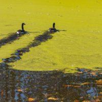 Las floraciones de algas en lagos se intensifican en todo el mundo