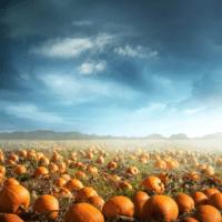 La falta de polinizadores reduce la cosecha de calabazas de Halloween